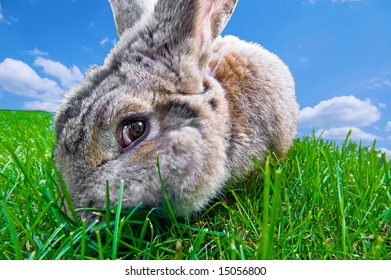 close up of a funny bunny eating grass with motion blur on cheek from chewing and blue sky in the back