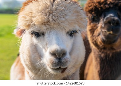 Close up of funny looking alpacas at farm in Wales, United Kingdom