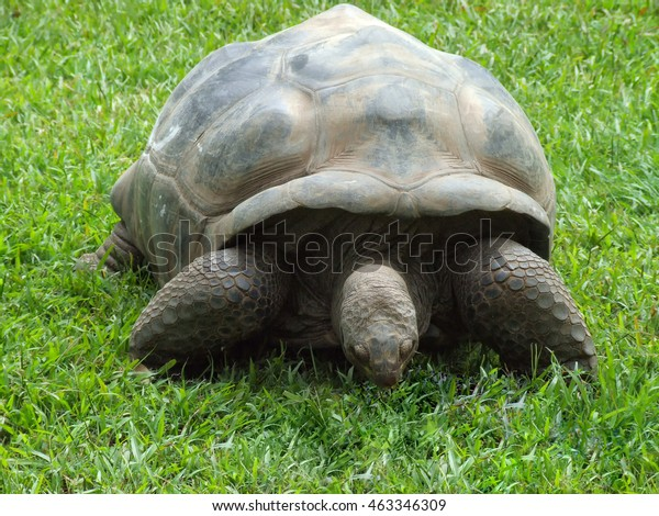 Close Galapagos Tortoise On Grass This Royalty Free Stock