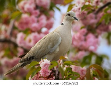 Close up garden bird, Eurasian Collared Dove,Streptopelia decaocto, perched in colorful pink Cherry Blossom Tree in bloom.  Vibrant nature of moravian lowlands, spring, Europe, Czech republic.