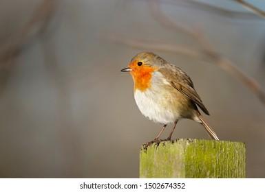 Close up of a garden bird European Robin (Erithacus rubecula) perched on the post, UK.
