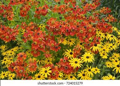 Close up of a garden flower border with colourful Helenium 'Moerheim Beauty' and Rudbeckia fulgida 'Goldsturn'