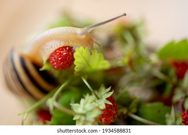 Close up of garden snail crawls on bunch of wild strawberries sprigs with ripe berries on blurred background