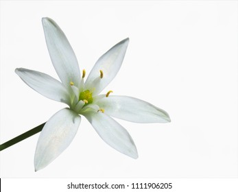 Close up of garden Star-of-Bethlehem flower isolated on the white background
