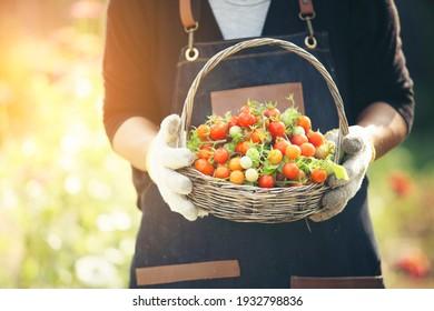 Close up gardener hand holding basket of tomato