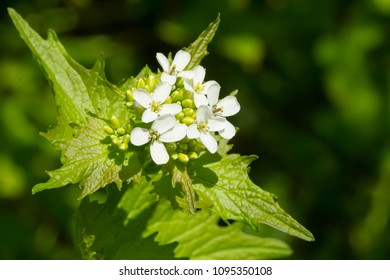 Close up of a Garlic Mustard flower. Also known as Hedge Garlic, Garlic Root, Penny Hedge, and Poor Man's Mustard. Rosetta McClain Gardens, Toronto, Ontario, Canada.