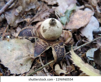 Close up of Geastrum (orthographical variant Geaster), a genus of mushroom in the family Geastraceae, known commonly as earthstars. Poland, Europe - Shutterstock ID 1196960554