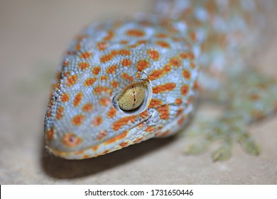 Close up of Gecko or Tropical Asian geckos (Gecko gecko) on the wall of the house, of beautiful skin gecko. It is one of the largest in Thailand