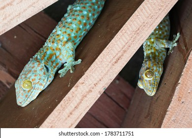 Close up of Gecko or Tropical Asian geckos (Gecko gecko) on the wall.