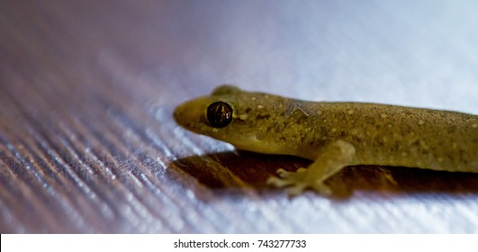 Close up of a geko lizard on wood background (pygopodidae)