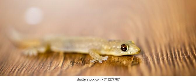 Pygopodidae