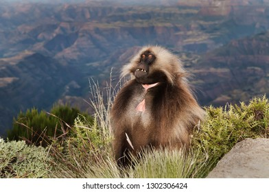 Close up of Gelada monkey (Theropithecus gelada) sitting in the grass, Simien mountains, Ethiopia.