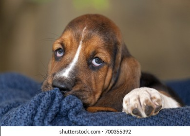 Close up gentle and sweet Basset hound puppy with sad eyes sitting on a blanket