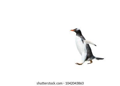 Close up of a gentoo penguin in Antarctica isolated on the white background