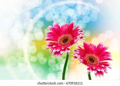 Close up of gerber flower