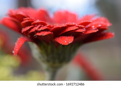 Close up Gerbera daisy with water droplets