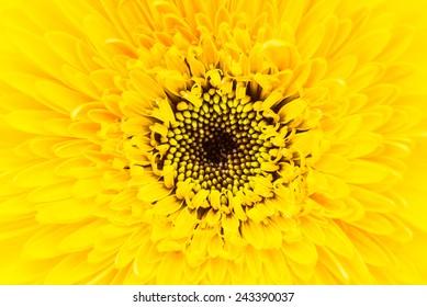 Close up gerbera flower background
