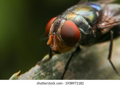 Close up of the giant fly on green leaf in the garden. Macro of Diptera on branch.
