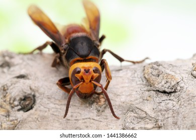 Close up of giant hornet on a tree surface