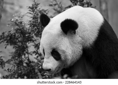 Close up of giant panda