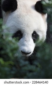 Close up of giant panda behind foliage
