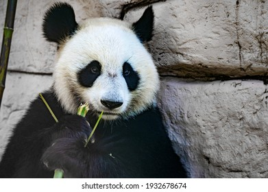 Close up of Giant panda eats some bamboo stick