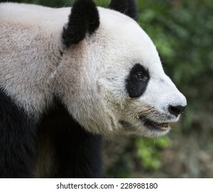 Close up of a giant panda head