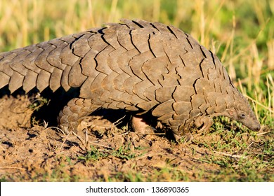 Close up of a Giant Pangolin, Masai Mara, Kenya
