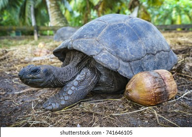 Close up of a giant tortoise on the seychelles