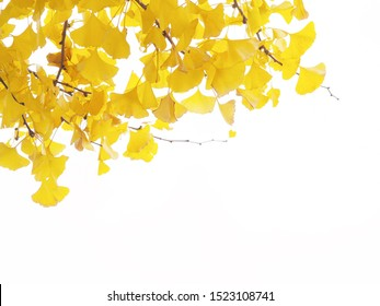 Close up ginkgo leaves and branches isolated on white background.
