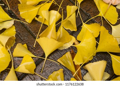Close up of ginkgo leaves lying on the wet ground after raining