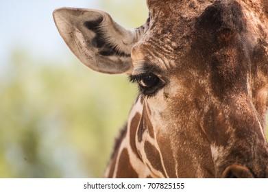 Close up of a giraffe eye and face