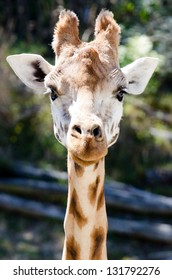 Close up of Giraffe face.