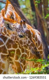 close up of giraffe head eating