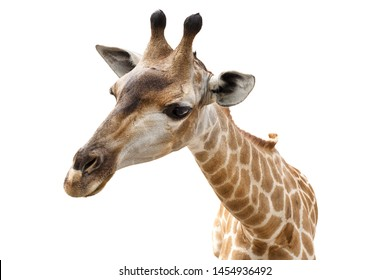 Close up of giraffe head isolate on white background.