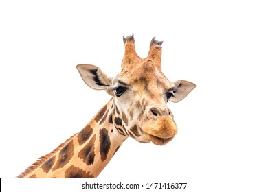 Close up of giraffe head isolated on white background.