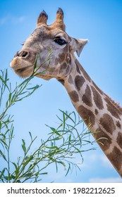 close up of a giraffe head while eating