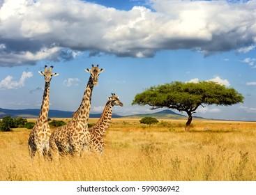 Close giraffe in National park of Kenya, Africa