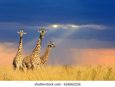 Close giraffe in National park of Kenya, Africa
