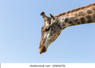 Close up giraffe on blue sky background