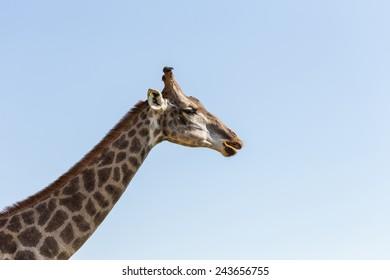 Close up giraffe on blue sky background