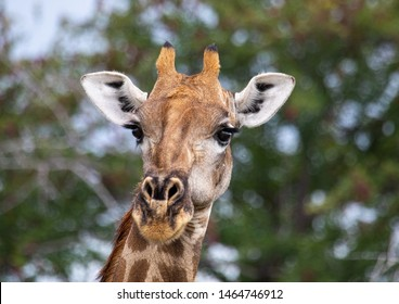 Close up of a Giraffe standing in the savannah grass at the Etosha National park in northern Namibia during summer