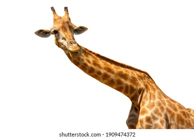 Close up giraffe, the tallest living terrestrial animal isolated on white background