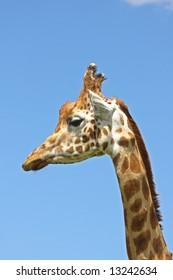Close up of Giraffe's head