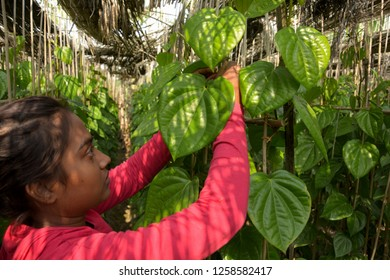 Close up of a girl wearing pink color dress tying the vines of a betel leaf plant, piper betle in a betel farm with beautiful green betel leaves in daylight and blur background