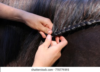 Close up of girls or woman's hands braiding or plaiting a black quarter horse's mane into a running braid.