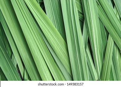 Close up of Gladiolus Leaves
