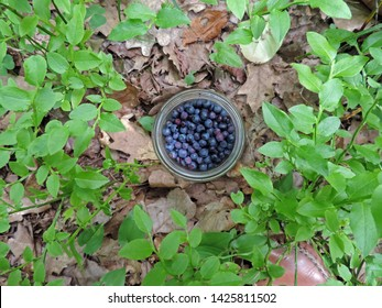 Close up of a glass jar full of bilberries among bilberry bushes. Poland, Europe