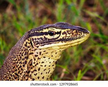 A close up of a Goanna or Bungarra lizard head