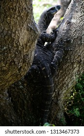 Close up of a goanna lizard on a tree